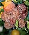Monilinia-fruchtfaeule.jpg