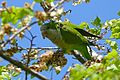 Monk Parakeet (Myiopsitta monachus) eating elm seeds ... (26083609534).jpg
