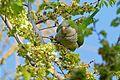 Monk Parakeet (Myiopsitta monachus) eating elm seeds ... (26562562482).jpg