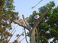 Monkey at Sopnopuri.JPG