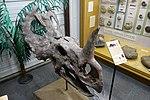 Monoclonius crassus skull BYU1.jpg