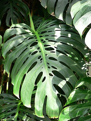 Perforate leaf - Perforation seen in Monstera deliciosa