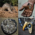 Montage of images of a pangolin and pangolin products - oo 246940.jpg
