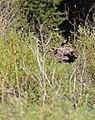 Moose -5 (2617551232).jpg
