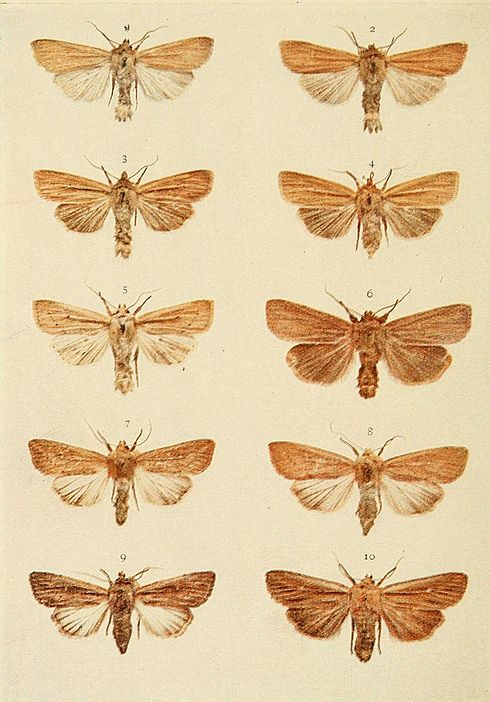 Moths of the British Isles Plate147.jpg
