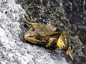 Mountain yellow-legged frog - Image: Mountain Yellow Legged frog