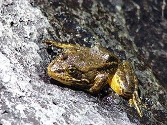 Mountain yellow-legged frog - Image: Mountain Yellow Legged frog