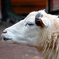 Mouton (image carrée).jpg