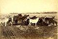 Mulas andes 1880.jpg