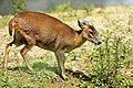 Muntjac - Lackford Lakes (27782193070).jpg