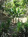 Musa × paradisiaca Linnaeus 1753 - 2013 002.jpg