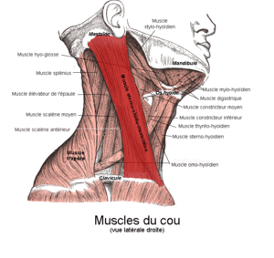 300px-Muscle_sterno-cl%C3%A9ido_mastoidien