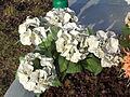 My Flowers 17.JPG