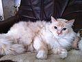 My cute siberian cat, Yoggi.jpg