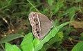 Mycalesis mineus – Dark-branded Bushbrown 03.jpg