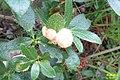 Mystery plant (Heiterwanger See) (15803826375).jpg