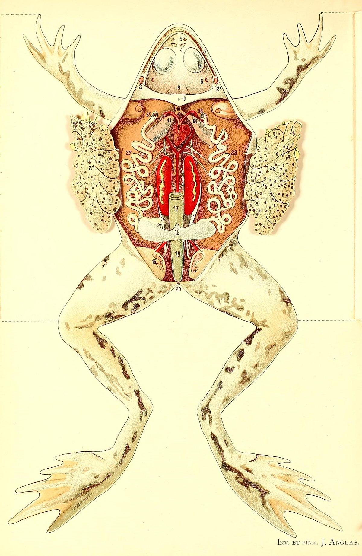 Opisthonephros - Wikipedia