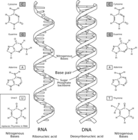 ARN con sus bases nitrogenadas a la izquierda y ADN a la derecha.