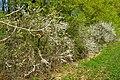 NSG Ithwiesen - Südlicher Teil bei Holzen - Blühender Schlehdorn (Prunus spinosa) (9).jpg