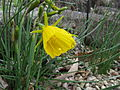 Narcissus bulbocodium2.jpg
