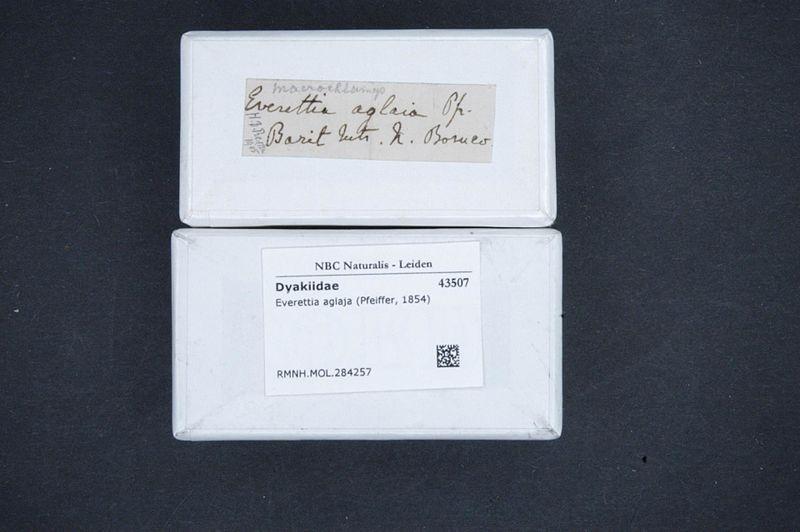 File:Naturalis Biodiversity Center - RMNH.MOL.284257 1 - Everettia aglaja (Pfeiffer, 1854) - Dyakiidae - Mollusc shell.jpeg