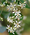 Neem (Azadirachta indica) in Hyderabad W IMG 7006.jpg