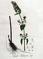 Nepeta cataria — Flora Batava — Volume v4.jpg