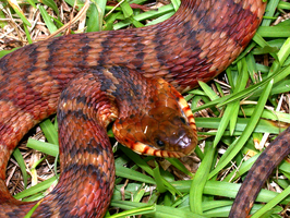 Image Result For Copperhead Snake Coloring