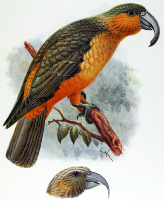 Norfolk kaka - John Keulemans illustration of a bird from Norfolk Island, and the head of a Phillip Island specimen