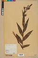 Neuchâtel Herbarium - Cephalanthera rubra - NEU000046825.jpg