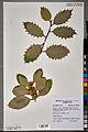 Neuchâtel Herbarium - Ilex aquifolium - NEU000100877.jpg