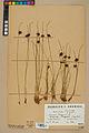 Neuchâtel Herbarium - Juncus jacquinii - NEU000044970.jpg