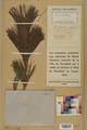 Neuchâtel Herbarium - Pinus strobus - NEU000003783.tif
