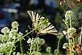 Newborn Swallowtail Butterfly 10.jpg