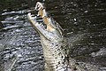 Nile-crocodile-Kenya-8.jpg
