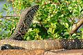 Nile Monitor (Varanus niloticus) juvenile (16371387378).jpg