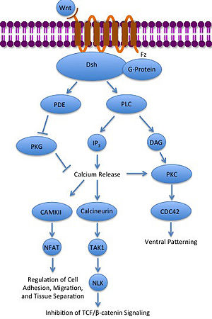 Paracrine signalling - Image: Noncanonical Wnt calcium pathway