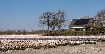 Noordwijkerhout, veld met hyacinthen aan de Oosterduinen IMG 9048 2021-04-27 14.02.jpg