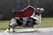 A blue merle-colored Cardigan