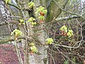 Norway Maple Flowers - geograph.org.uk - 1277637.jpg