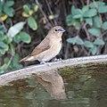 Nutmeg Mannikin (juvenile) (46465343001).jpg