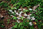 I fiori Nyctanthes arbor-tristis