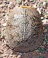 ORNATE BOX TURTLE (Terrapene ornata) (10-22-2014) san rafael grasslands, santa cruz co, az -03 (15417291528).jpg