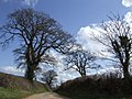 Oaks by the lane to Primmore Corner - geograph.org.uk - 381162.jpg