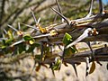 Ocotillo thorns.jpg
