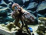 Octopus-vulgaris-4.jpg