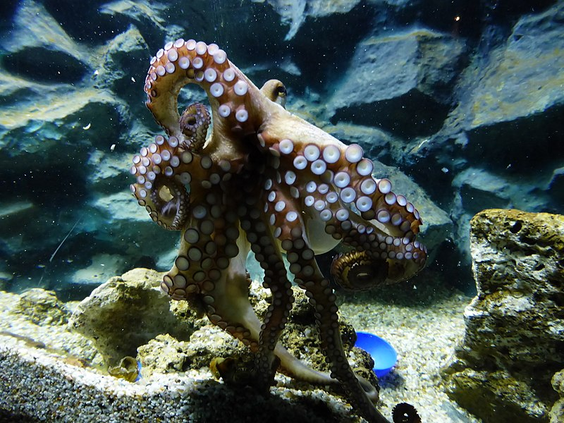 File:Octopus-vulgaris-4.jpg
