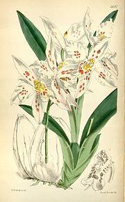 Odontoglossum crispum (as Odontoglossum alexandrae var. guttatum) - Curtis' 94 (Ser. 3 no. 24) pl. 5691 (1868).jpg