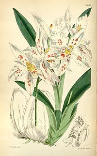 Odontoglossum crispum (as Odontoglossum alexandrae var. guttatum) - Curtis' 94 (Ser. 3 no. 24) pl. 5691 (1868)