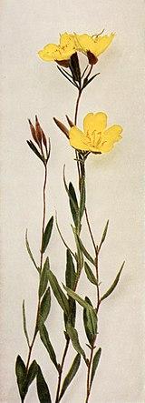Oenothera fruticosa WFNY-147A.jpg